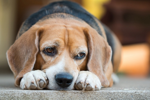 Get your dog's 4th Synovan Injection for Free in May